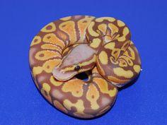 Pastel Ultramel - Morph List - World of Ball Pythons