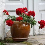 Container gardening tips, garden design ideas 226 Container Gardening, Gardening Tips, Customer Service Jobs, Work For Hire, Red Geraniums, Baby List, Work From Home Moms, Inspired Homes, Free Pictures