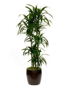 Lisa dracaena: When watering Lisa check the that the soil surface is dry before watering. Checking for moisture can be a bit tricky with Lisa as many of them are potted in Lava Rock, which can be a very difficult soil medium for detecting moisture. For Lisa's in Lava rock it may be best to put them on a watering schedule, and keep a close eye that there is not excess water left in the plants liner between waterings.
