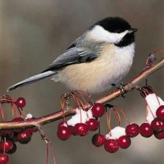 <b>Chickadee</b> in winter | Birds | Pinterest
