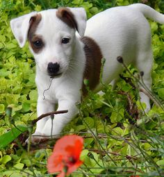 What an absolutely beautiful Jack Russell Terrier Puppy! Fox Terriers, Bull Terrier Dog, Terrier Puppies, Terrier Mix, Jack Russell Terrier, Jack Russell Dogs, Cute Puppies, Cute Dogs, Dogs And Puppies