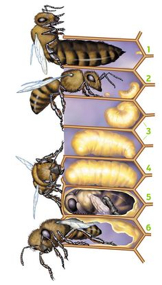 Teach kids about BEES! Like many insects, bees go through a process called metam… Teach kids about BEES! Like many insects, bees go through a process called metamorphosis, changing shape as they grow. Bee Life Cycle, Bee Facts, Bee Boxes, Bees And Wasps, Bee Friendly, Bee Theme, Bugs And Insects, Save The Bees, Bee Happy