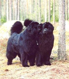 Secrets Black Newfoundland Spaniel Terrier Dog Photography Puppy Hounds Chien Puppies Pup