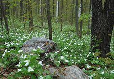 Trillium forest Southern Ontario