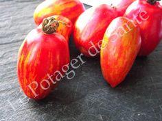 Semences de Tomate Tonnelet