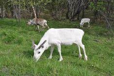 reinsdyr - Google-søk Goats, Animals, Animales, Animaux, Goat, Animal, Animais