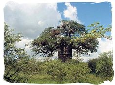 The huge gnarled old baobab tree, a dominating feature in the Mopani camp. Baobab Tree, Africa, Trees, Clouds, Leaves, Google, Image, Outdoor, Outdoors