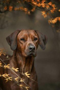 Beautiful dog rhodesian ridgeback hound outdoors by brusnika_k Rhodesian Ridgeback, Vizsla, Pet Dogs, Dogs And Puppies, Dog Cat, Doggies, Dog Photos, Dog Pictures, Beautiful Dogs