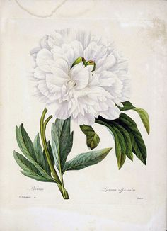 European peony. Paeonia officinalis. Choix des plus belles fleurs -et des plus beaux fruits par P.J. Redouté. (1833)