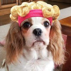 ダリちぇる  #愛犬 #キャバリア #キャバリアキングチャールズスパニエル #ブレンハイム #cavalier #cavalierkingcharlesspaniel #ckc #cavaliers #dog #dogstagram #りゅうちぇる