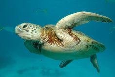 Tortue marine photographiée en Australie.
