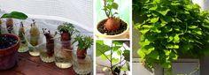 Ráadásul a levele is ehető! Vegetables, Plants, Potato, Vegetable Recipes, Flora, Plant, Planting