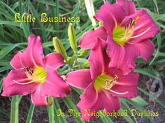"Daylily 'Little Business.'  3"" blooms on 15"" scapes.  EM, RE, EXT, SEV.  Red (deep pink to cranberry) self with very green throat."