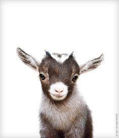I love goats!!! Look how precious this baby goat looks!!! #animals #goat