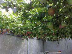passion fruit tree.