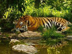 Imagenes de tigres para fondos de pantalla - Taringa!