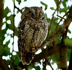 African Scops Owl Byruslou (on & off)