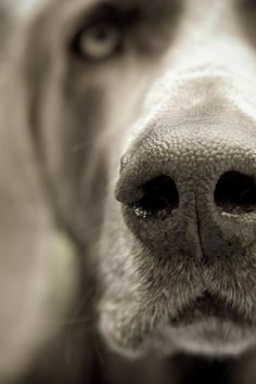 weimaraner-looks like my boy Shadow Baby Dogs, Pet Dogs, Dogs And Puppies, Dog Cat, Pet Pet, Doggies, Weimaraner, Animal Noses, Dog Nose