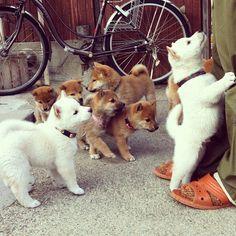 Shiba puppies- how beautiful