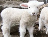 Vermont Romney sheep & lambs| Grand View Farm quality breeding stock
