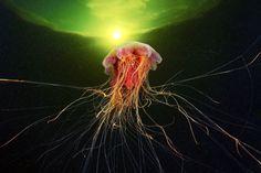 Alien Hunt ©Alexander Semenov Hunting Cyanea capillata. White Sea, Russia