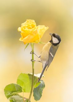 yellow rose company - close up of titmouse holding on to a stem of a yellow rose