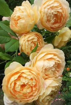 Golden Celebration, a David Austin rose. Romantic Roses, Beautiful Roses, Beautiful Gardens, Roses David Austin, Austin Rosen, Rosen Beet, Bloom, Coming Up Roses, English Roses