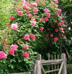 У куста плетистой розы несколько стеблей поэтому внизу мы формируем стебли веером, разложив их на противоположные стороны опоры. Затем мы направляем стебли навстречу друг другу  под углом 45 градусов.