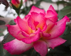 "Nature Photography, ""Vibrant Pink Bloom"", Rose Wall Art, Floral Decor"