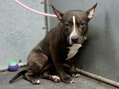 GONE --- TO BE DESTROYED 5/20/14 Manhattan Center   My name is SALLY. My Animal ID # is A0999929. I am a female black and white pit bull mix. The shelter thinks I am about 1 YEAR 6 MONTHS old.  I came in the shelter as a OWNER SUR on 05/15/2014 from NY 11412, owner surrender reason stated was NYCHA BAN.  https://www.facebook.com/photo.php?fbid=806226839390197&set=a.611290788883804.1073741851.152876678058553&type=3&theater