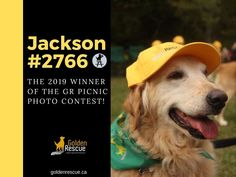 And the winning photo is.....Jackson #2766 sporting his GR Swag at the 29th Annual Golden Rescue Picnic! Thank you to Kennedy who captured this great shot and sent it in! Kennedy wins a copy of our 25th Anniversary Coffee Table Book, 'Golden Reflections.' Thank you to everyone who sent in their photos the day of the picnic. They were all fantastic!  #goldenretriever #rescuedog #adoptdontshop The Gr, Coffee Table Books, Great Shots, 25th Anniversary, Photo Contest, Rescue Dogs, Picnic, Jackson, Swag