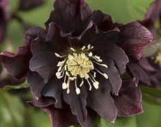 Hellebore 'Double Ellen Purple'