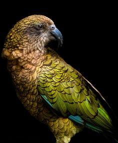 New Zealand Wildlife, Tui Bird, Nature Research, Flower Tattoo Foot, Flower Tattoos, Blue Butterfly Wallpaper, Nz Art, Colorful Animals, Auckland