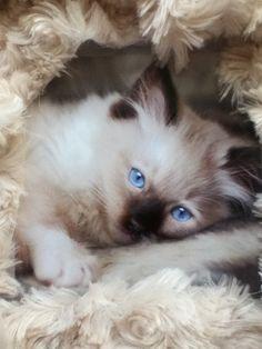"""Oh, que je suis bien ! ma petite maîtresse, me bichonne, et je dors dans un lit de """"doudou"""" car je suis un chaton """"Sacré de Birmanie"""""""