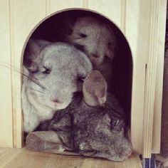 They just LOVE to snuggle up… | Community Post: 10 Reasons Chinchillas Are Super Cute