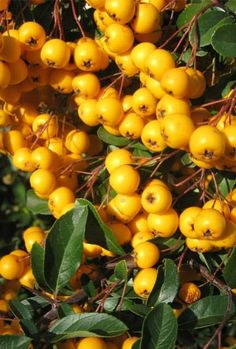 Pyracantha 'Saphyr Yellow' hedging is wonderful shrub for small garden hedge, its very prickly and a good deterrent to help prevent unwanted access to your garden. This evergreen shrub produces puffs of white flowers in early summer followed by yellow berries.