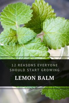 12 Reasons Everyone Should Start Growing Lemon Balm The list of reasons to love lemon balm is practically endless and you'll be happy to learn that growing and harvesting it is easy.