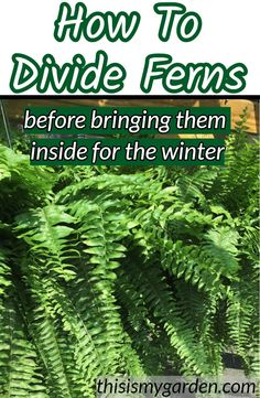 Dividing ferns in the fall is a great way to keep your ferns healthy and thriving. Learn how to split & repot oversized ferns to create new plants for free! Outside Plants, Porch Plants, Outdoor Plants, Ivy Plants, Indoor Ferns, Potted Ferns, Container Gardening Vegetables, Succulents In Containers, Container Plants