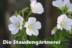 blüht 5 - 6 Geranium sylvaticum 'Album', 2,80 €, Die Staudengärtnerei - Der