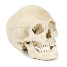 Gallery For > Real Skull Angles   skullart   Pinterest   Real skull ...