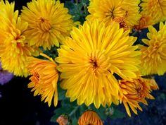 Crisantemo amarillo.