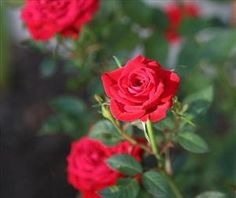Rose Classes: A Guide to Different Types of Roses