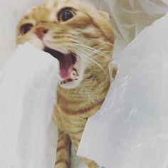 小霸王  #mycat #meow #ネコ #猫ijenho2016/03/16 14:45:28