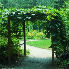 Grape arbor - fully grown.  I'm thinking of this over a pathway to my backyard.