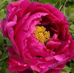 Mo Chi Jin Hui Tree Peonies at Peony Farm, red vigorous growing Beautiful Roses, White Flowers, Red Roses, Beautiful Flowers, Tree Peony, Peony Flower, Peonies Garden, Red Tree, Summer Art