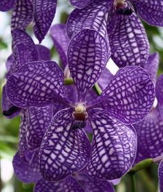 Purple Power ~ Quinta Flower. The pattern of purple over the white on these petals is great texture inspiration.
