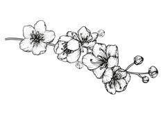 Dibujo para colorear flores de cerezo número 3. Cherry blossom, cherry flower.