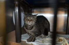 ***TO BE DESTROYED 10/05/17*** SENIOR BOY JAY JAY NEEDS A RESCUE ANGEL TONIGHT!! 15 year old Jay Jay was brought to the shelter when his owner died. This handsome tabby is already neutered and needs a new retirement home! He is not happy in the shelter which is totally understandable and is being punished with a New Hope only rating and MUST BE PULLED BY A RESCUE BY NOON! PLEASE GIVE JAY JAY A RETIREMENT HOME - NOT A DEATH SENTENCE!!