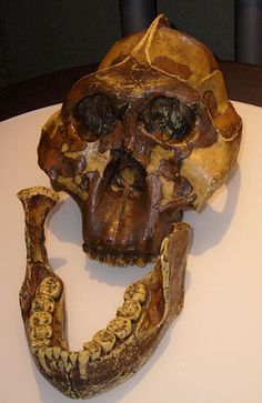 """Casts of the skull sometimes known as """"Nutcracker Man"""", found by Mary Leakey in 1959, and the jaw known as the Peninj Mandible, found by Kamoya Kimeu in 1964."""