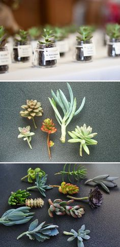 DIY Mini Succulent Planters:: Tiny jars (repurposed baby food jars? Or the little jars some of the Burt's Bee's creams, like the banana one, would work) wrapped w/ twine & a label (which could have the plant's name if not being used as a favor), filled w/ a mini succulents (Available via TheSucculentGarden on Etsy: www.etsy.com/shop/thesucculentgarden)